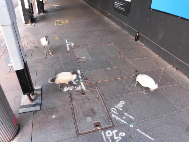 シドニー市街地でアイビス(日本で絶滅したトキの仲間)と遊ぶ