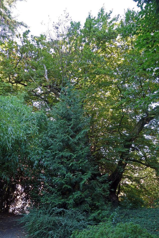 Hainbuche im Schlosspark Bodman in Bodman