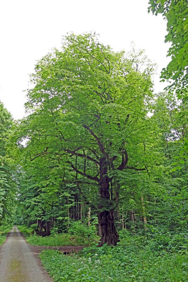 Korpusbuche im Stadtwald bei Mühlhausen