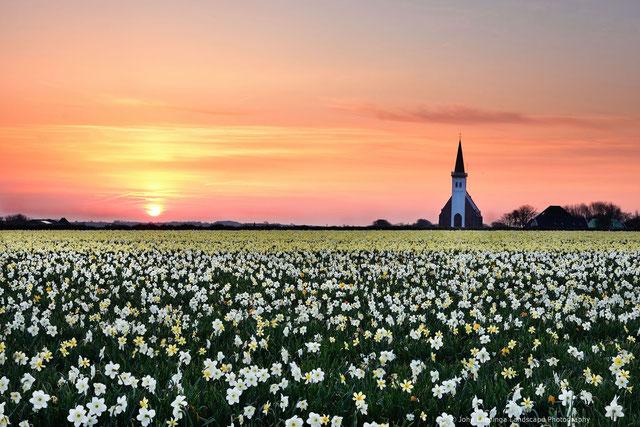 269 Narcissenveld op Texel (4018)