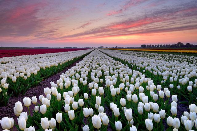 311. Witte tulpenveld bij zonsondergang (3585)