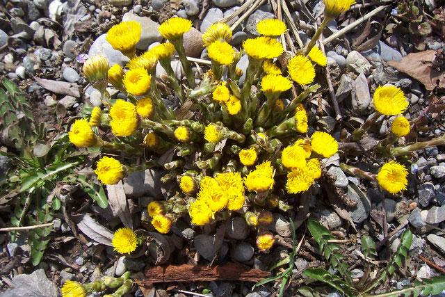 Erste Blüten vom Huflattich