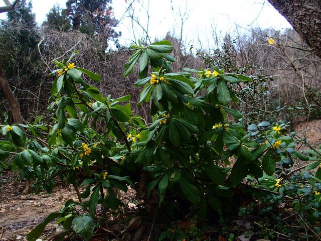 登山道脇に自生するナニワズ、競って開花し始めています。