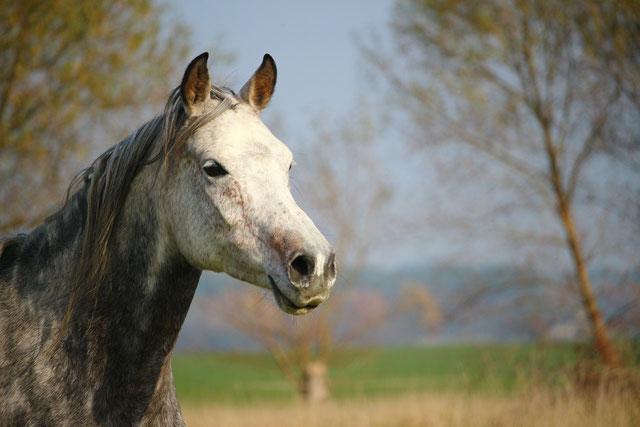 Schimmel, weisses Pferd, in der Sonne