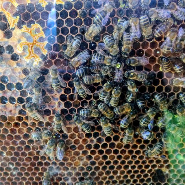 Hier tummelt sich die wunderschönere Bienenkönigin mit ihren fleißigen Arbeiterbienen.