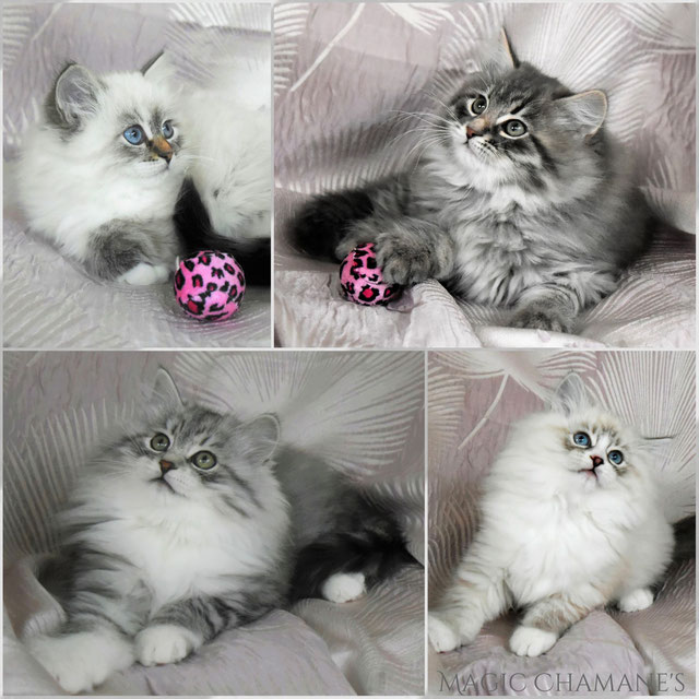 chaton sibérien élevage