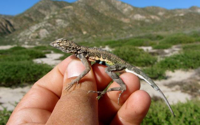 Cachora arenera (Callisaurus draconoides) de la Sierra las Cacachilas, Baja California Sur. Foto: Jorge Valdez