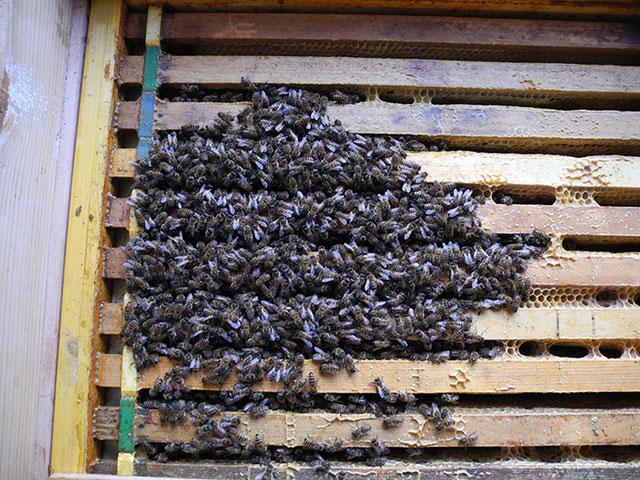 Bienenzuchtverein Merkstein, Bienen Merkstein, Bienen Aachen, Bienenverein Merkstein, Bienenverein Aachen, Biene, Bienen, Wintertraube Merkstein