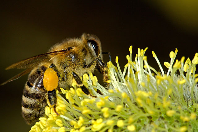 Pollen, Blütenpollen, Bienenzuchtverein, Bienen, Merkstein, Heinsberg-Merkstein, Imker, Verein, Honig