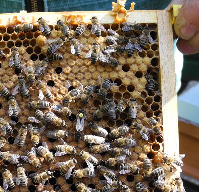 Die Königin im Kranz ihrer Ammenbienen, Bienenzuchtverein Merkstein, Bienen Merkstein, Bienen Aachen, Bienenverein Merkstein, Bienenverein Aachen, Biene, Bienen, Merkstein