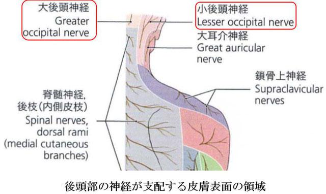 後頭部の神経が支配する皮膚領域