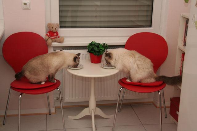 zwei Katzen essen am Tisch