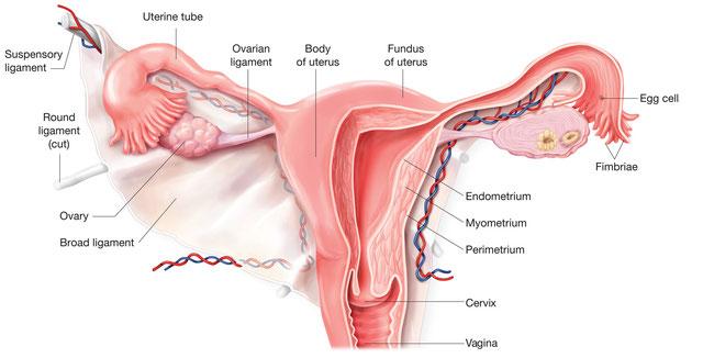 Osteopathie Gynäkologie