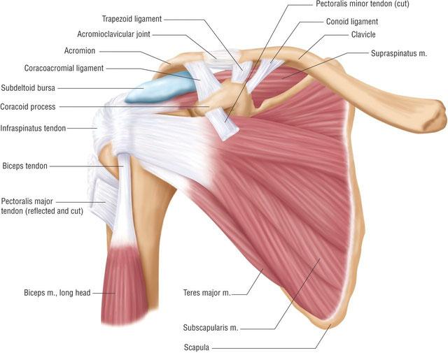 Therapie von Schulter Nacken Arm Syndrom beim Osteopath in München