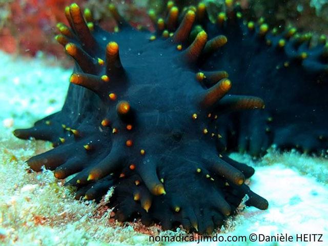 Holothurie, forme carrée, couleur bleu foncé, papilles coniques, pointes jaune orangé