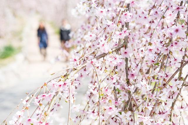 平和公園の桜・お花見情報