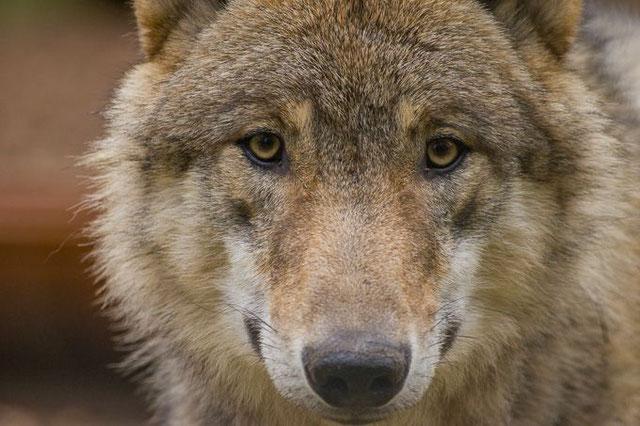 Europäischer Grauwolf Foto: Tammo Zelle