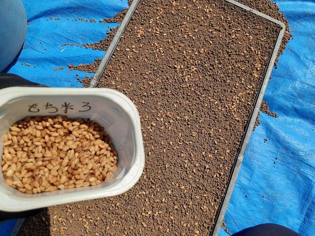 下の長方形の物が育苗土を敷いた育苗箱。ここに種籾をまんべんなくまいていく。