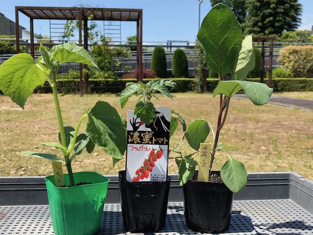 植えつけたトマト、ナス、キュウリの苗