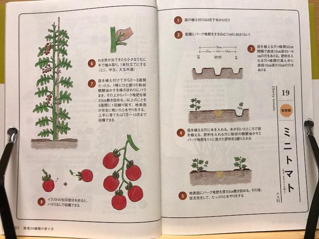 ミニトマトの育て方をわかりやすく解説