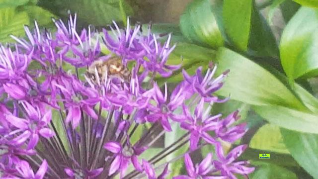 Allium (Riesen-Zierlauch) als Wildbienen-Rollercoaster. Bienenvideo von K.D. Michaelis