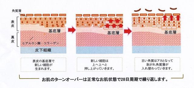 お肌のターンオーバーの仕組み