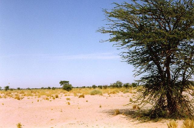 Paisaje de la zona de Aguinit, al sur del Sáhara Occidental. En primer término, una talja, la acacia del desierto.