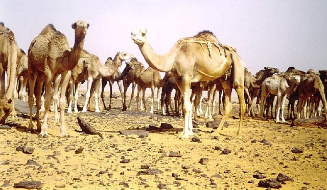 Un grupo de dromedarios descansando en las proximidades de Bir Lehlu