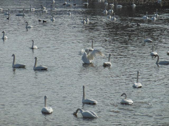 田尻池の大白鳥