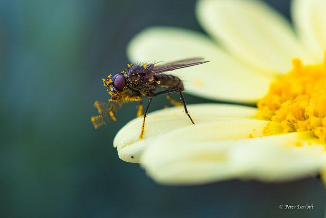Eine Fliege hat Pollen genascht, sitzt auf dem Blatt und ist voll mit Pollen und schlägt sich Pollen von den vorderen Beinen, macht einen zufriedenen Eindruck.