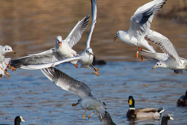 Mehrere Möwen fliegen dicht über dem Wasser, eine hat ein Stückchen Brot im Schnabel, dass die Anderen ihr streitig machen wollen.