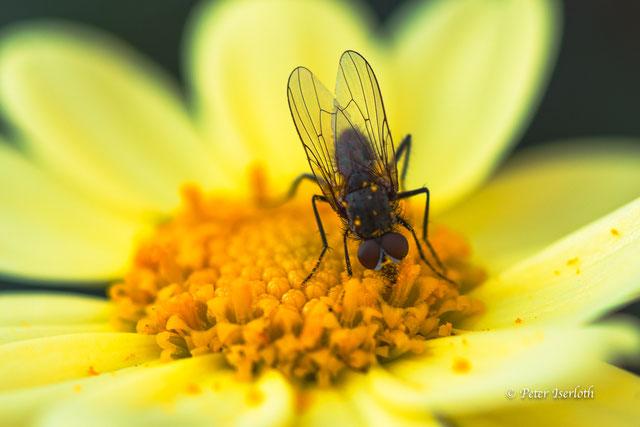 Eine Fliege sitzt auf der Blüte einer Margerite und saugt Nektar.