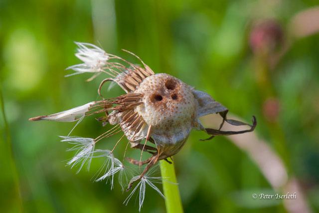 Das Foto zeigt eine fast angepustete Pusteblume die den Eindruck erzeugt es wäre ein Gesicht.
