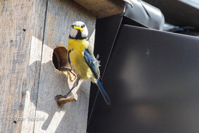 Eine Blaumeise sitz an ihrem Vogelhaus am Einflugloch mit Futter im Schnabel und schaut sich ganz keck um.