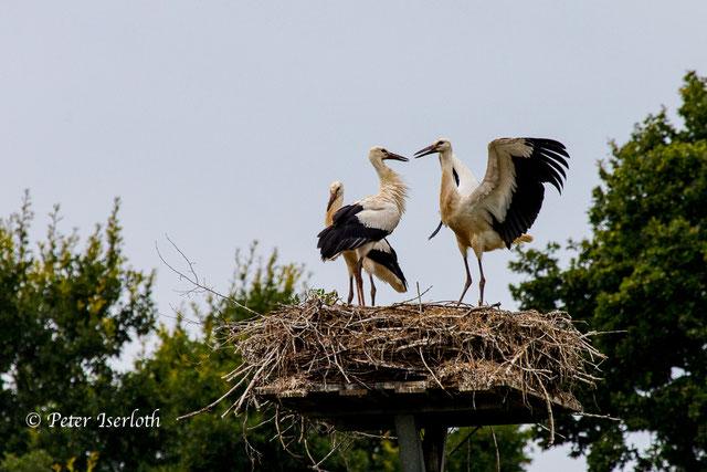 Drei Jungstörche auf ihrem Nest, es macht den Eindruck als würden sie sich unterhalten . Sind sich zugewandt und die Schnabelspitzen berühren sich fast und sind leicht geöffnet.