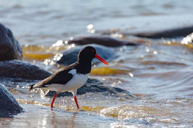 Ein Austernfischer ist am Wassersaum der Ostsee unterwegs, um Futter zu suchen.