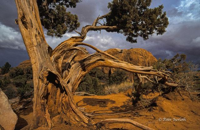 Auf einer Reise im Arches Nationalpark, habe ich diese Bristlecone Pine entdeckt, es ist eine langlebige Kiefer und gehört zu den ältesten Baumarten der Welt. Unsere Natur ist ein toller Baumeister.