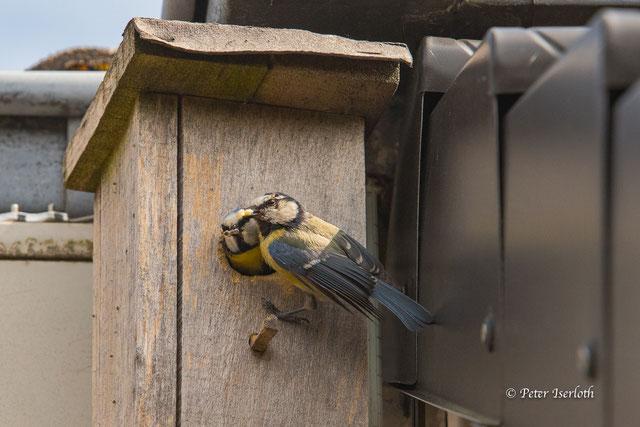 Beide Altvögel am Nistkasten, einer sitzt am Einflugloch, mit Futter, der Seite schaut raus