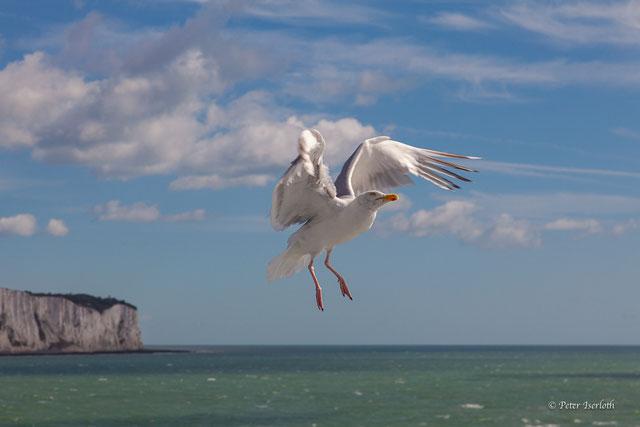 Eine Silbermöwe spielt im Wind, es macht den Eindruck, als wäre sie schwerelos. Unsere Natur kann uns so unglaublich viel zeigen, es braucht nur offene Augen.