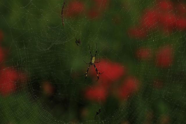 ジョロウグモと彼岸花