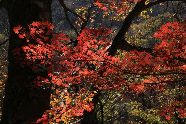 日差しを浴びる紅葉Ⅱ