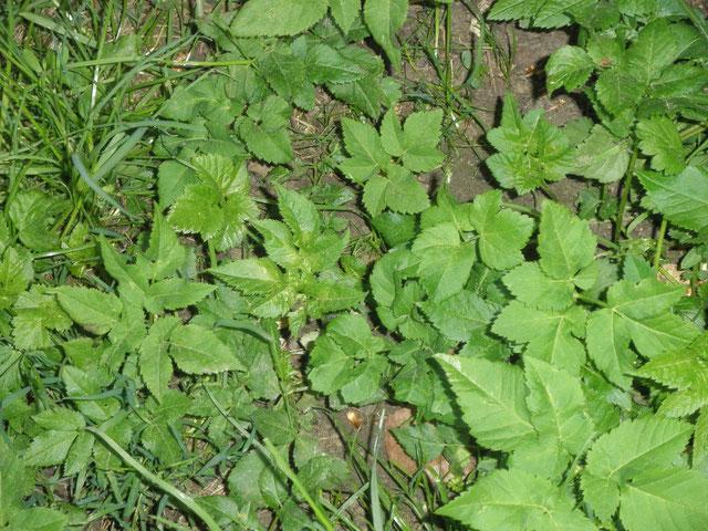Giersch - Doldenblütler