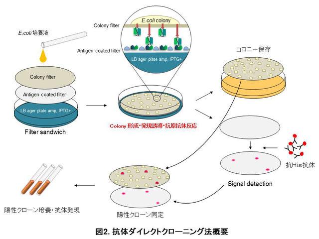 抗体ダイレクトクローニング法概要