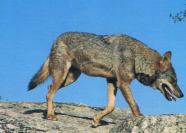 La extinción del lobo en la Comunidad Valenciana del Parque Natural de la Tinença de Benifassà  y se produjo en la década de los cincuenta.