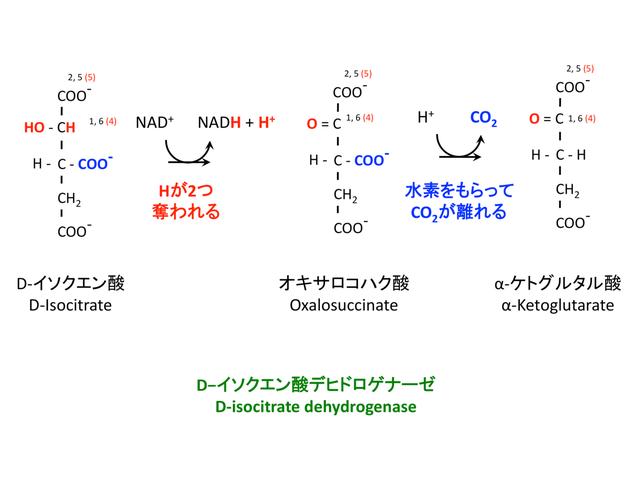 イソクエン酸の酸化と脱炭酸