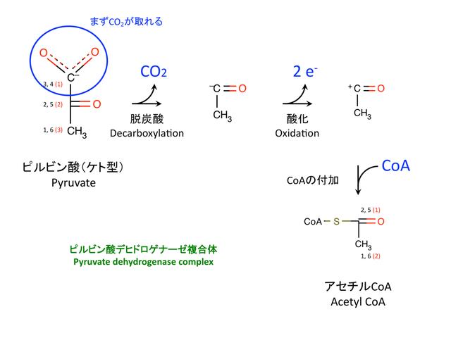 ピルビン酸の酸化