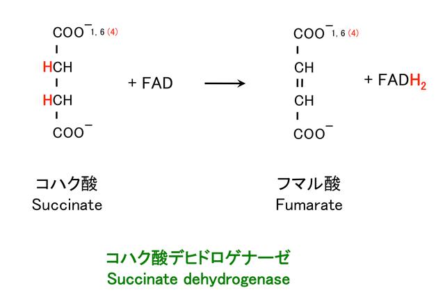 コハク酸の酸化
