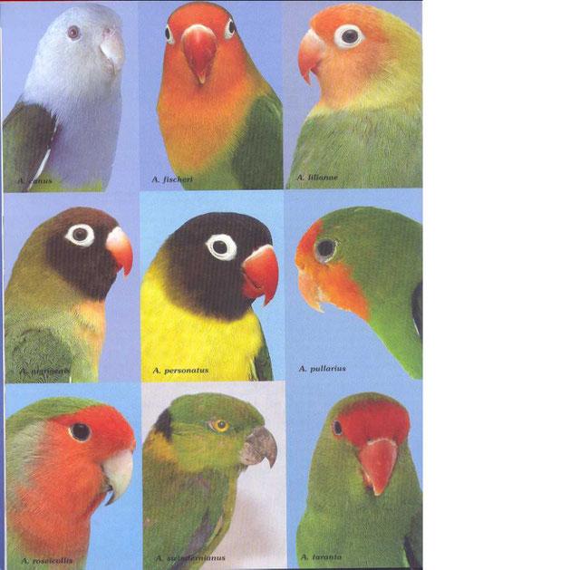 Las 9 especies de Agapornis