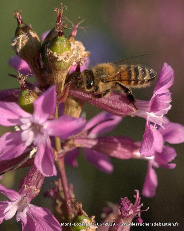 Apis mellifera & Viscaria vulgaris, Cévennes