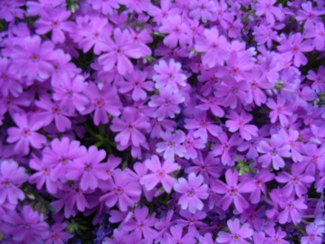 軽井沢の町花であるサクラソウ。満開です